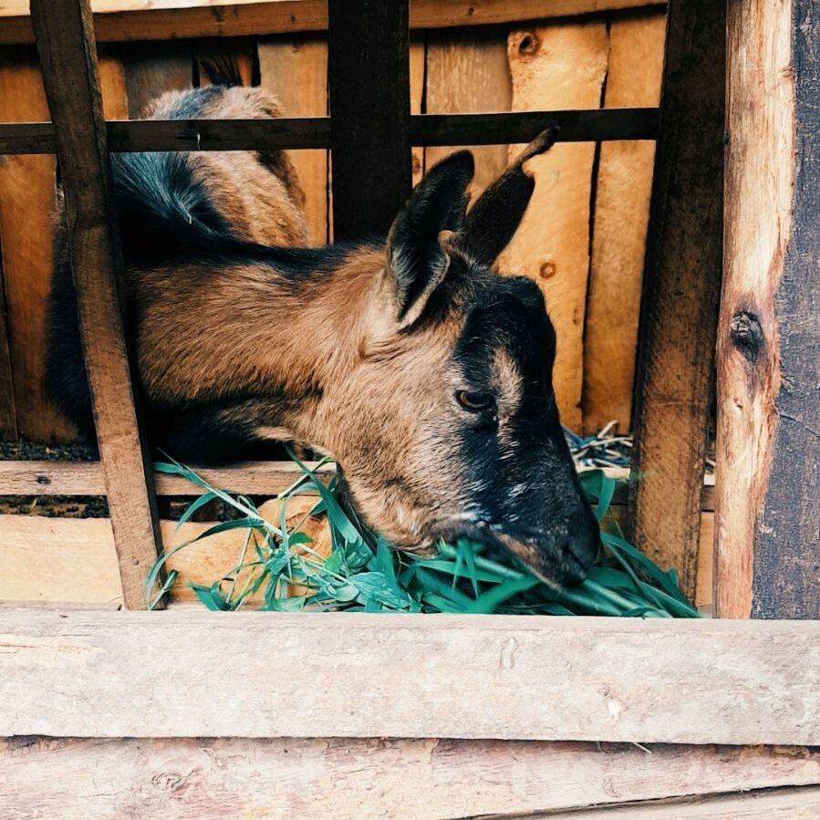 Goat_Jul17_YWyatt